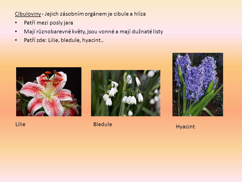 Cibuloviny - Jejich zásobním orgánem je cibule a hlíza Patří mezi posly jara Mají různobarevné květy, jsou vonné a mají dužnaté listy Patří zde: Lilie, bledule, hyacint..