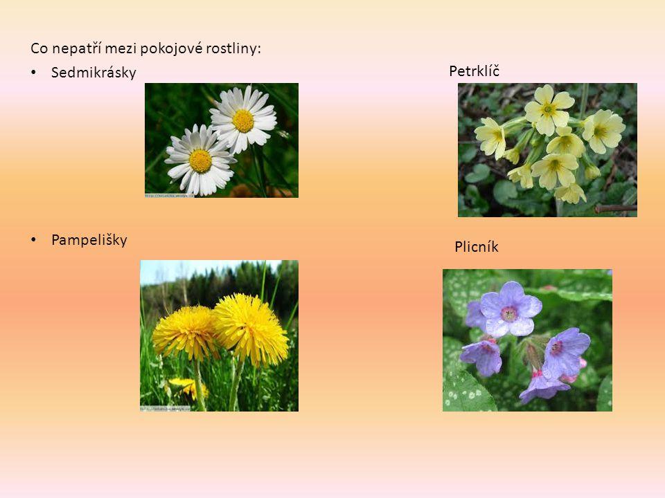 Co nepatří mezi pokojové rostliny: Sedmikrásky Pampelišky Petrklíč Plicník