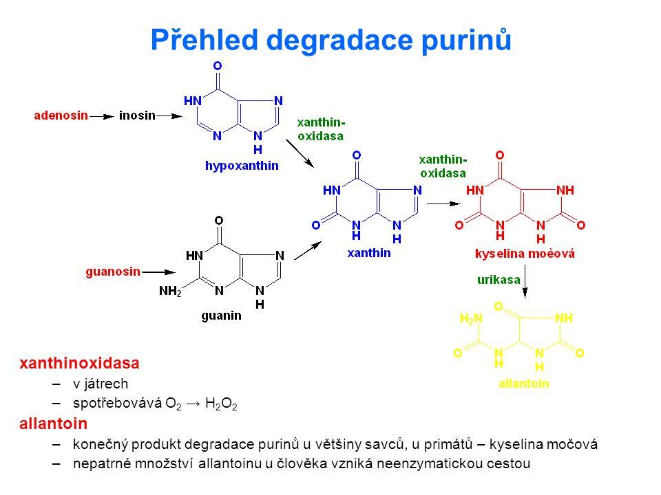 Přehled degradace purinů xanthinoxidasa –v játrech –spotřebovává O 2 → H 2 O 2 allantoin –konečný produkt degradace purinů u většiny savců, u primátů