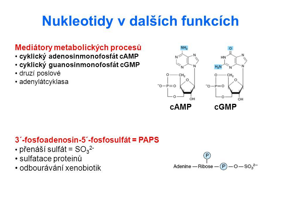 Nukleotidy v dalších funkcích Mediátory metabolických procesů cyklický adenosinmonofosfát cAMP cyklický guanosinmonofosfát cGMP druzí poslové adenylát