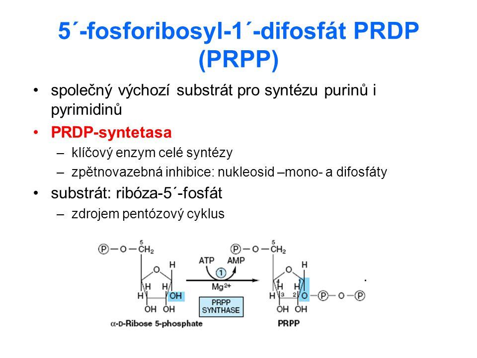 5´-fosforibosyl-1´-difosfát PRDP (PRPP) společný výchozí substrát pro syntézu purinů i pyrimidinů PRDP-syntetasa –klíčový enzym celé syntézy –zpětnova
