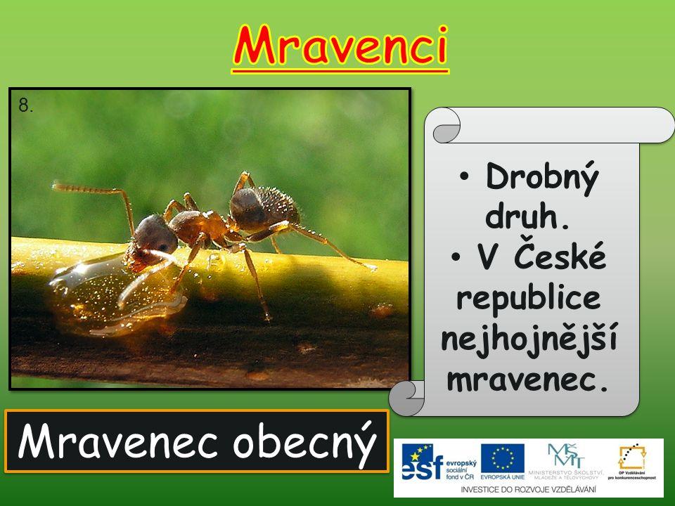Mravenec obecný Drobný druh. V České republice nejhojnější mravenec. 8.