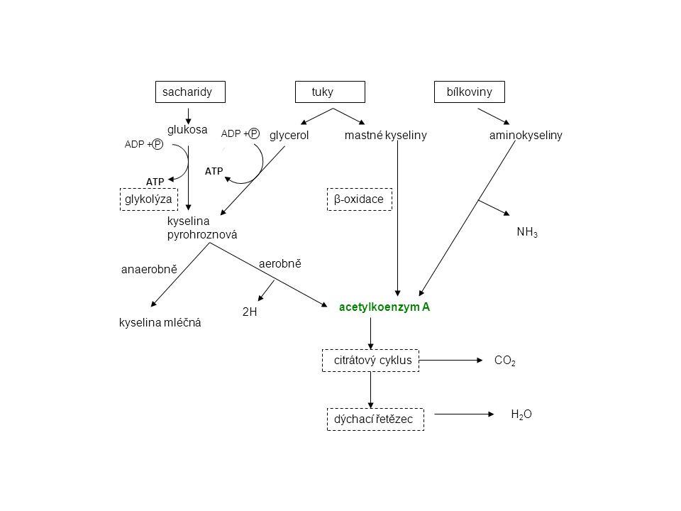 β-oxidace probíhá v matrix mitochondrií