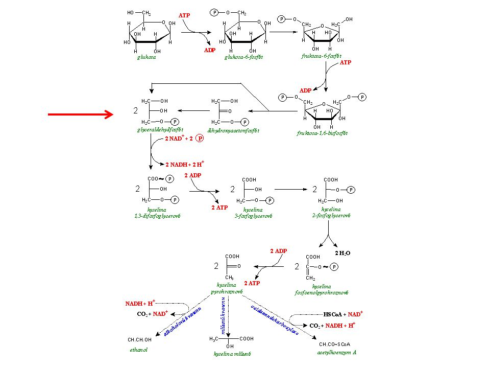bílkovinysacharidytuky kyselina pyrohroznová ADP + P glykolýza glycerolmastné kyseliny β-oxidace kyselina mléčná ADP + P ATP acetylkoenzym A aminokyseliny NH 3 anaerobně aerobně 2H citrátový cyklus dýchací řetězec CO 2 H2OH2O glukosa
