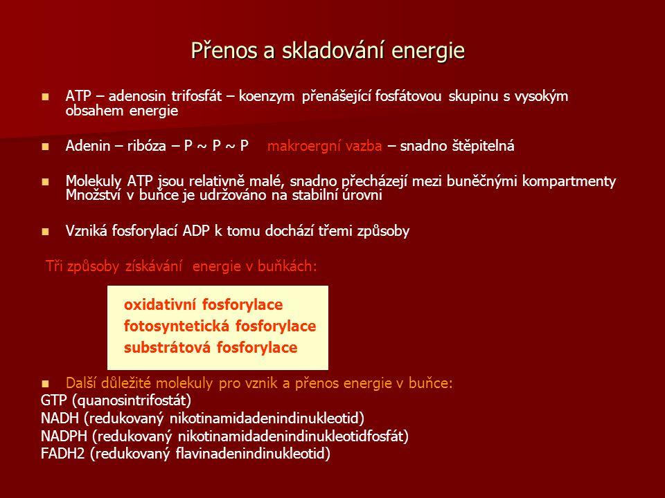 Přenos a skladování energie ATP – adenosin trifosfát – koenzym přenášející fosfátovou skupinu s vysokým obsahem energie Adenin – ribóza – P ~ P ~ P ma