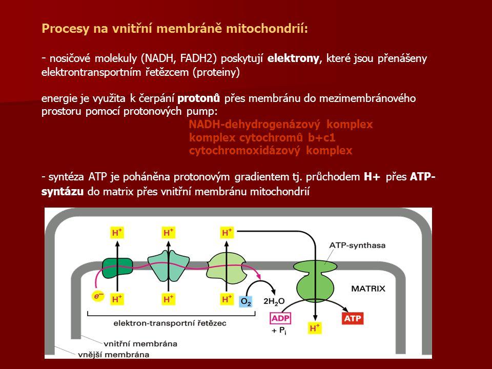 Procesy na vnitřní membráně mitochondrií: - nosičové molekuly (NADH, FADH2) poskytují elektrony, které jsou přenášeny elektrontransportním řetězcem (p