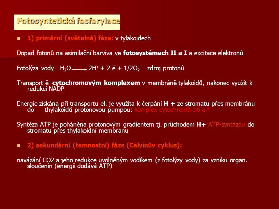 Fotosyntetická fosforylace 1) primární (světelná) fáze: v tylakoidech Dopad fotonů na asimilační barviva ve fotosystémech II a I a excitace elektronů