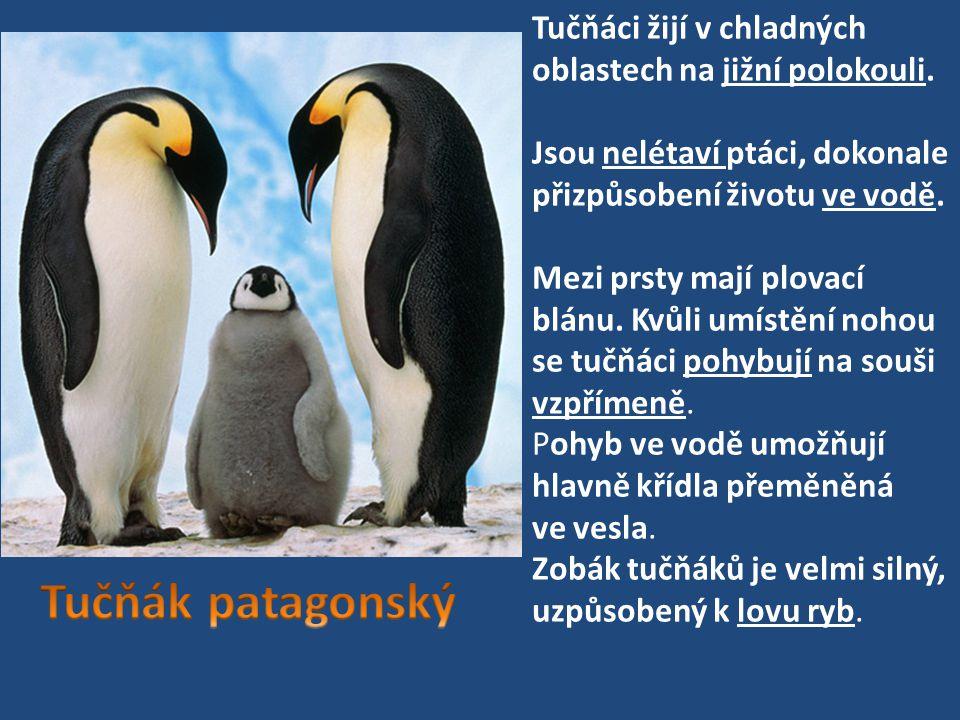 Tučňáci žijí v chladných oblastech na jižní polokouli. Jsou nelétaví ptáci, dokonale přizpůsobení životu ve vodě. Mezi prsty mají plovací blánu. Kvůli