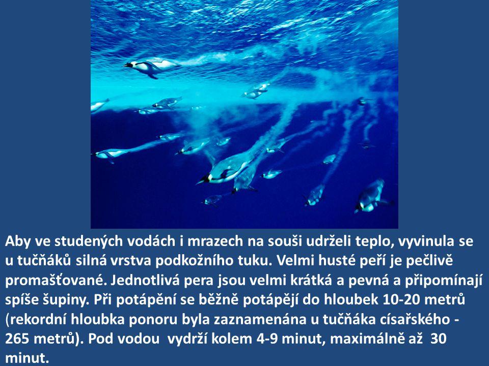 Aby ve studených vodách i mrazech na souši udrželi teplo, vyvinula se u tučňáků silná vrstva podkožního tuku. Velmi husté peří je pečlivě promašťované