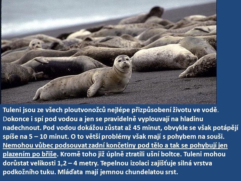 Tuleni jsou ze všech ploutvonožců nejlépe přizpůsobení životu ve vodě. Dokonce i spí pod vodou a jen se pravidelně vyplouvají na hladinu nadechnout. P