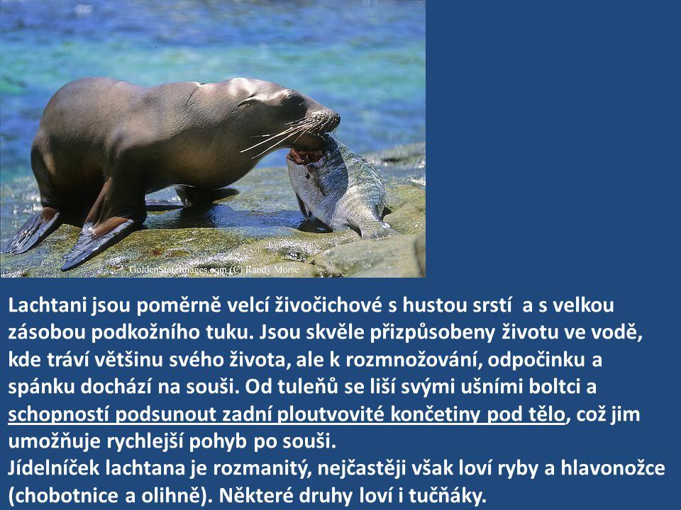 Lachtani jsou poměrně velcí živočichové s hustou srstí a s velkou zásobou podkožního tuku. Jsou skvěle přizpůsobeny životu ve vodě, kde tráví většinu