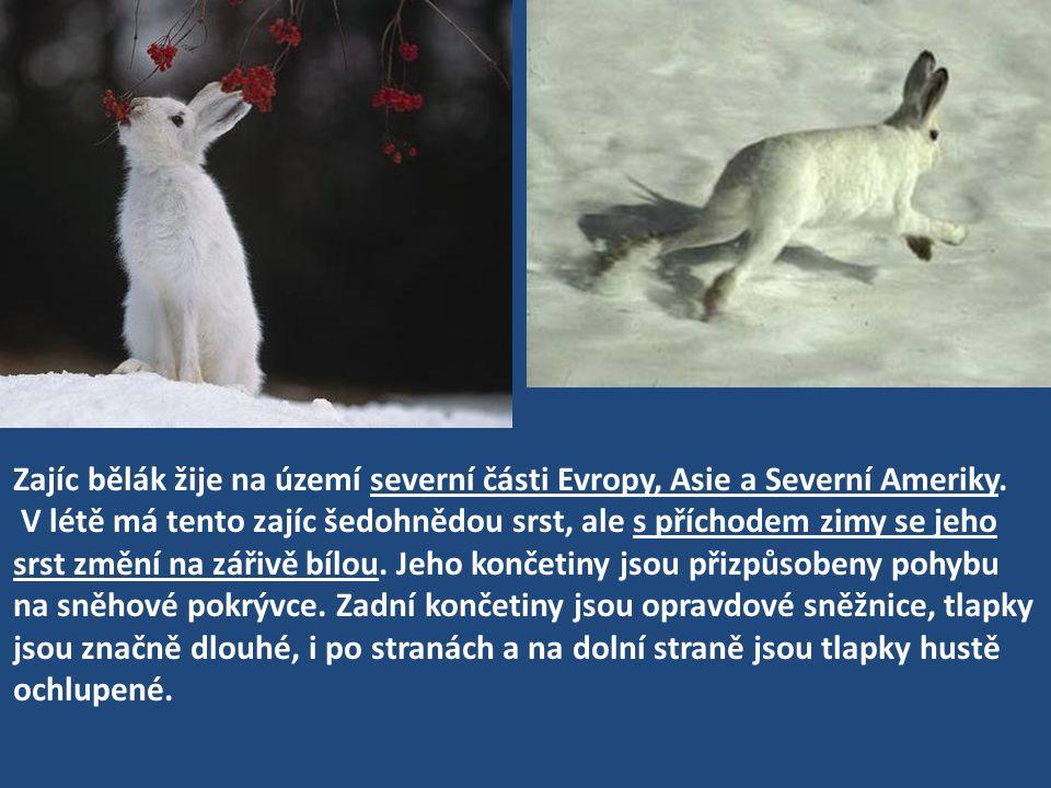 Zajíc bělák žije na území severní části Evropy, Asie a Severní Ameriky. V létě má tento zajíc šedohnědou srst, ale s příchodem zimy se jeho srst změní