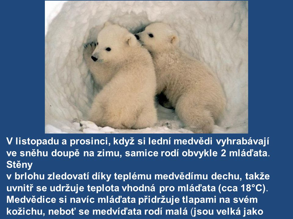 V listopadu a prosinci, když si lední medvědi vyhrabávají ve sněhu doupě na zimu, samice rodí obvykle 2 mláďata. Stěny v brlohu zledovatí díky teplému