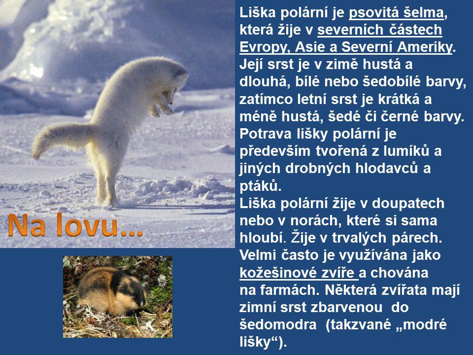 Liška polární je psovitá šelma, která žije v severních částech Evropy, Asie a Severní Ameriky. Její srst je v zimě hustá a dlouhá, bílé nebo šedobílé