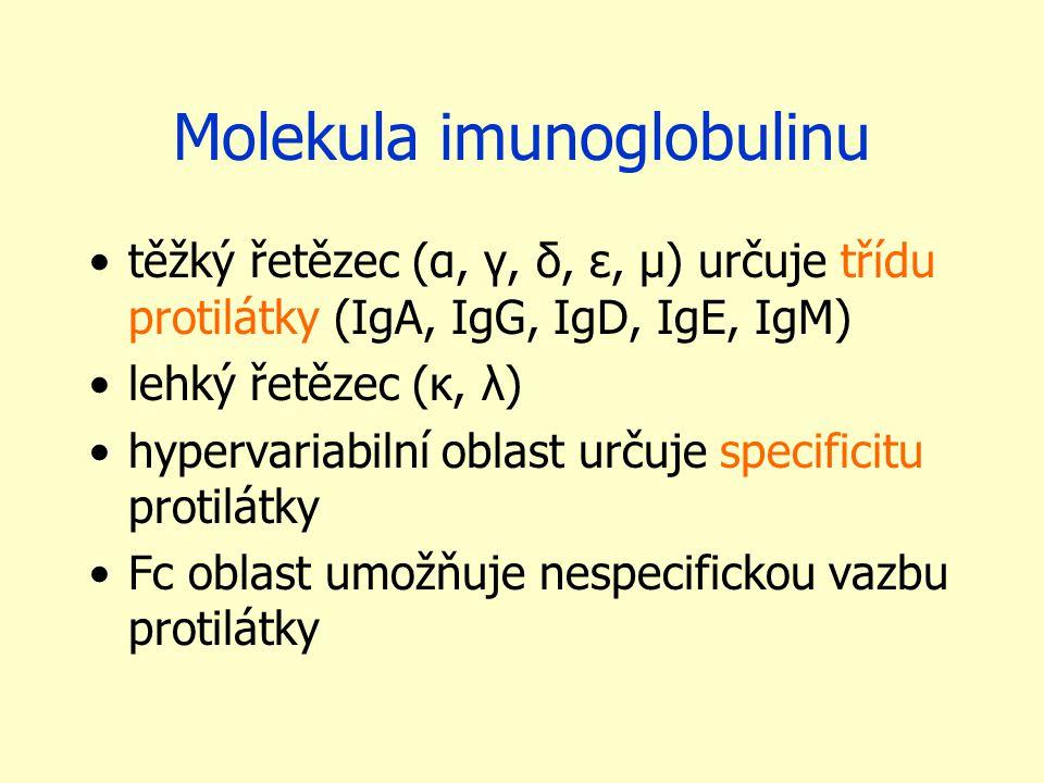 Molekula imunoglobulinu těžký řetězec (α, γ, δ, ε, μ) určuje třídu protilátky (IgA, IgG, IgD, IgE, IgM) lehký řetězec (κ, λ) hypervariabilní oblast určuje specificitu protilátky Fc oblast umožňuje nespecifickou vazbu protilátky