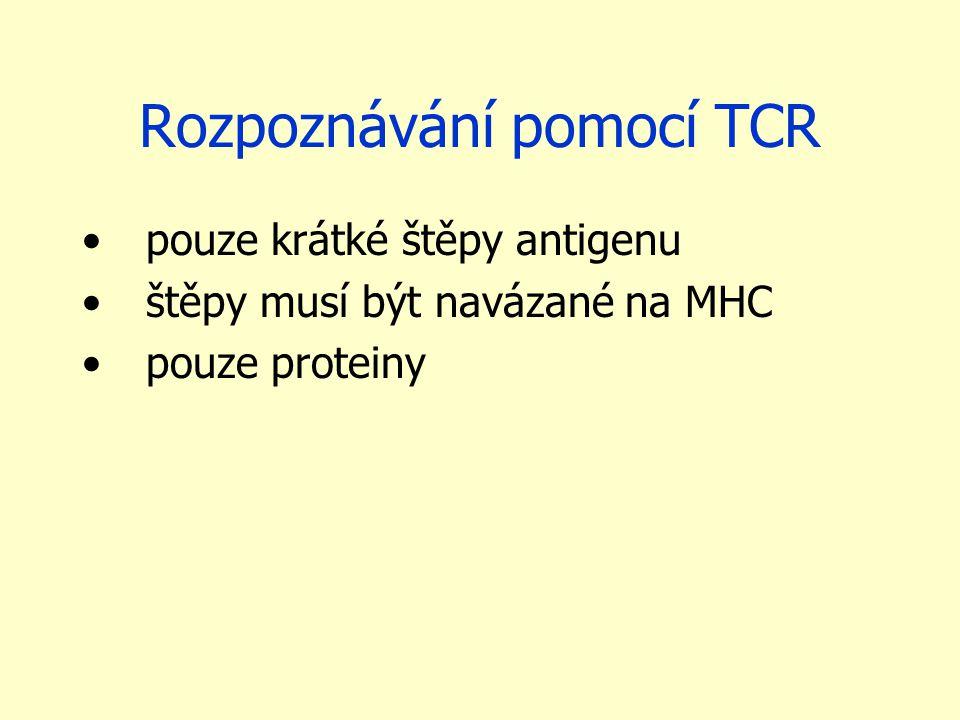 Rozpoznávání pomocí TCR pouze krátké štěpy antigenu štěpy musí být navázané na MHC pouze proteiny