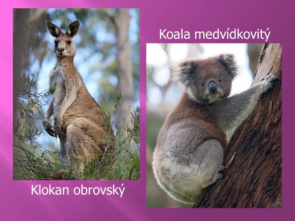 Koala medvídkovitý Klokan obrovský