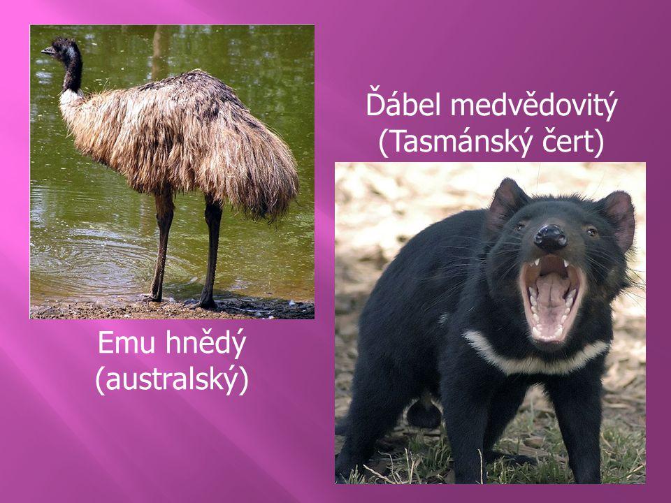 Ďábel medvědovitý (Tasmánský čert) Emu hnědý (australský)