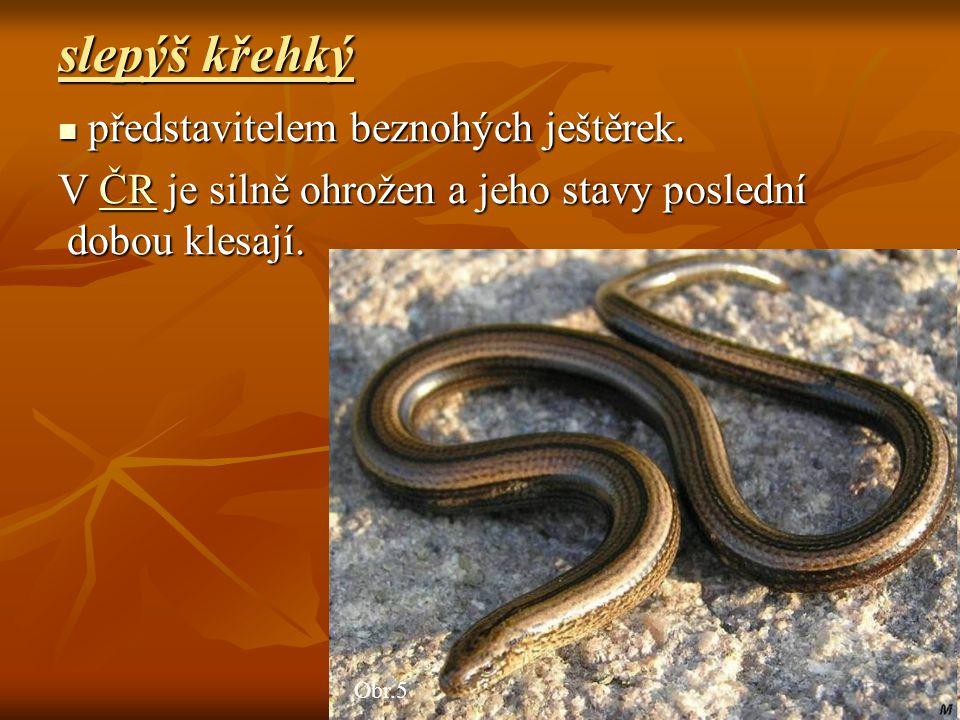 ještěrka obecná ještěrka obecná Obr.6