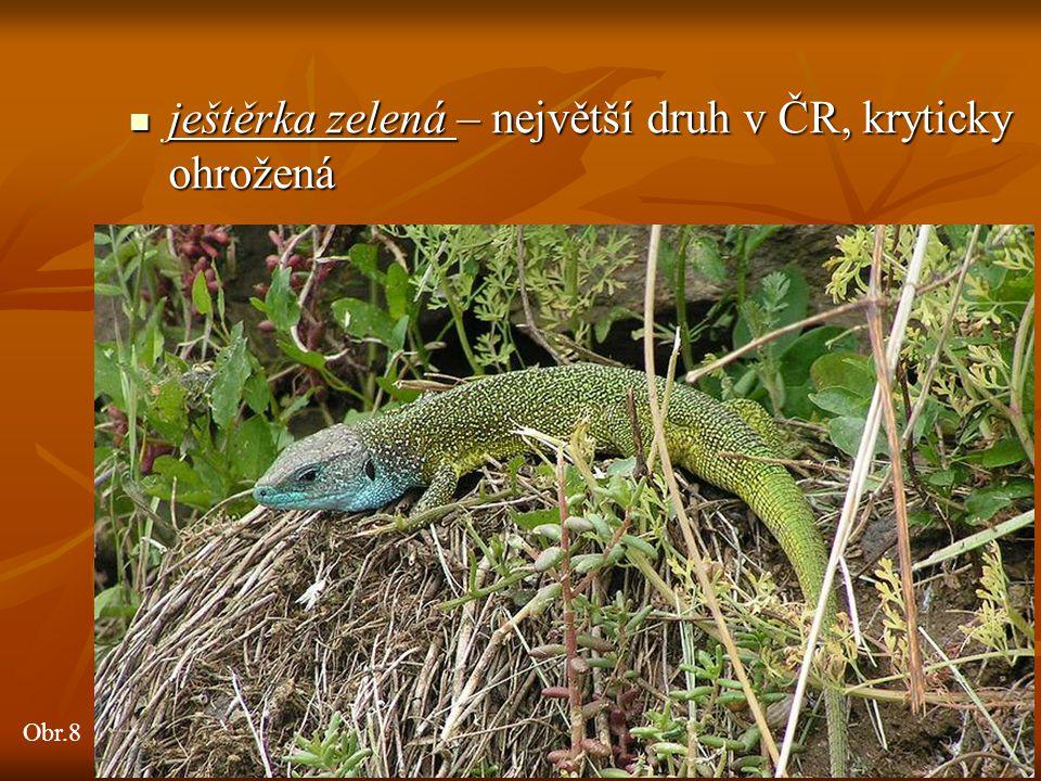 ještěrka zelená – největší druh v ČR, kryticky ohrožená ještěrka zelená – největší druh v ČR, kryticky ohrožená Obr.8