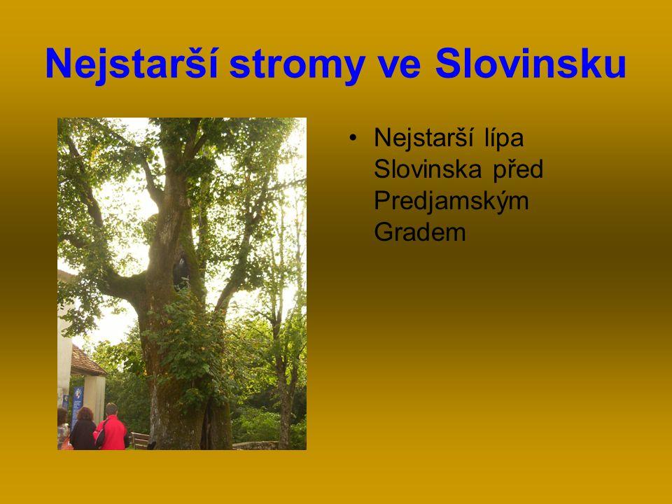 Tato nejstarší lípa patří k národním památkám Slovinska