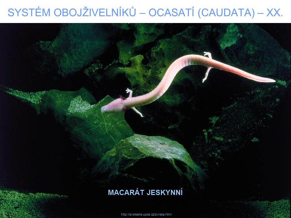 SYSTÉM OBOJŽIVELNÍKŮ – OCASATÍ (CAUDATA) – XX. MACARÁT JESKYNNÍ http://slorealie.upce.cz/zvirata.html