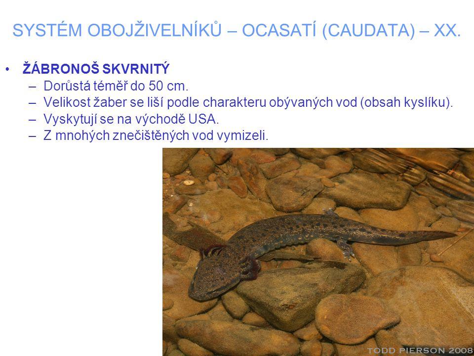 SYSTÉM OBOJŽIVELNÍKŮ – OCASATÍ (CAUDATA) – XX. ŽÁBRONOŠ SKVRNITÝ –Dorůstá téměř do 50 cm. –Velikost žaber se liší podle charakteru obývaných vod (obsa