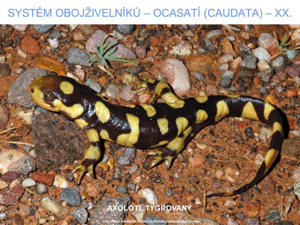 SYSTÉM OBOJŽIVELNÍKŮ – OCASATÍ (CAUDATA) – XX. http://www.thehibbitts.net/troy/photo/salamanders/a.tigrinum.htm AXOLOTL TYGROVANÝ