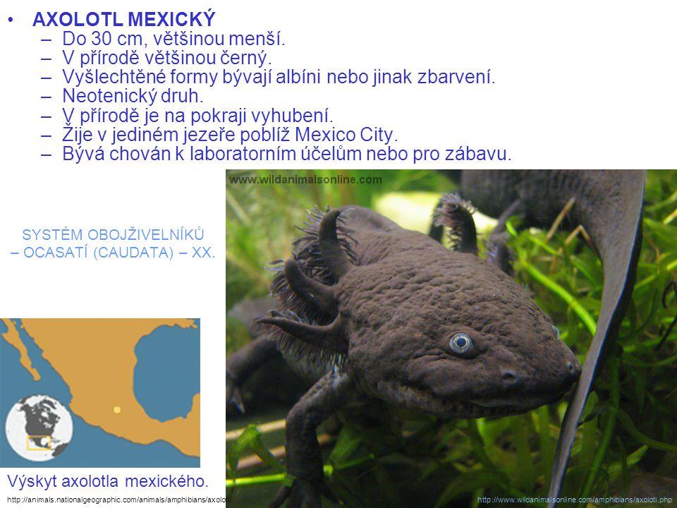 SYSTÉM OBOJŽIVELNÍKŮ – OCASATÍ (CAUDATA) – XX. AXOLOTL MEXICKÝ –Do 30 cm, většinou menší. –V přírodě většinou černý. –Vyšlechtěné formy bývají albíni