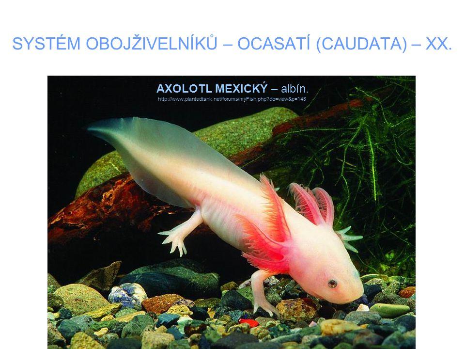 SYSTÉM OBOJŽIVELNÍKŮ – OCASATÍ (CAUDATA) – XX. AXOLOTL MEXICKÝ – albín. http://www.plantedtank.net/forums/myFish.php?do=view&p=148