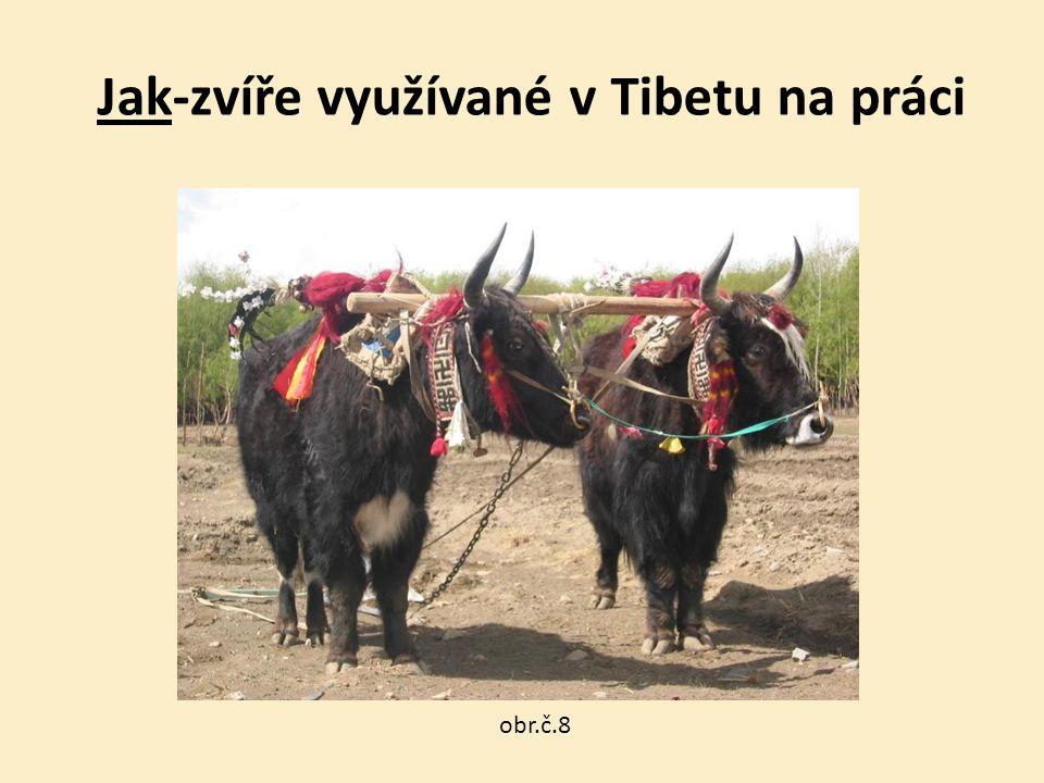 Jak-zvíře využívané v Tibetu na práci obr.č.8