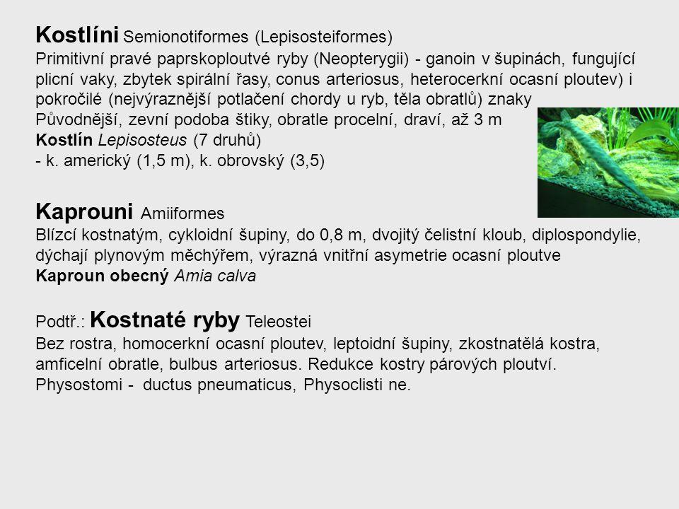 Kostlíni Semionotiformes (Lepisosteiformes) Primitivní pravé paprskoploutvé ryby (Neopterygii) - ganoin v šupinách, fungující plicní vaky, zbytek spir