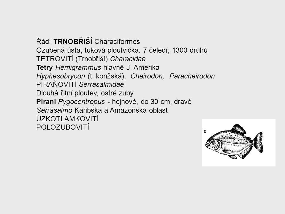 Řád: TRNOBŘIŠÍ Characiformes Ozubená ústa, tuková ploutvička. 7 čeledí, 1300 druhů TETROVITÍ (Trnobřiší) Characidae Tetry Hemigrammus hlavně J. Amerik