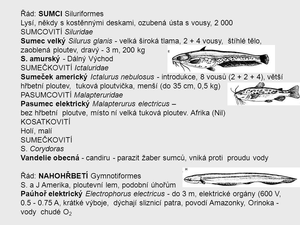 Řád: SUMCI Siluriformes Lysí, někdy s kostěnnými deskami, ozubená ústa s vousy, 2 000 SUMCOVITÍ Siluridae Sumec velký Silurus glanis - velká široká tl
