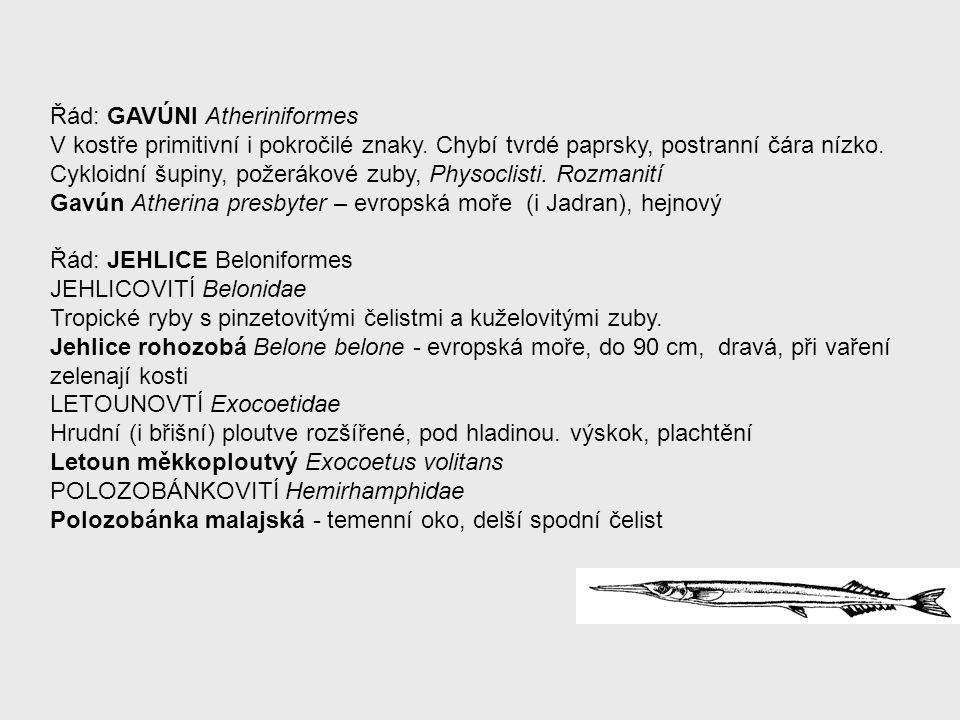 Řád: GAVÚNI Atheriniformes V kostře primitivní i pokročilé znaky. Chybí tvrdé paprsky, postranní čára nízko. Cykloidní šupiny, požerákové zuby, Physoc