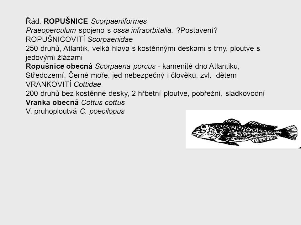 Řád: ROPUŠNICE Scorpaeniformes Praeoperculum spojeno s ossa infraorbitalia. ?Postavení? ROPUŠNICOVITÍ Scorpaenidae 250 druhů, Atlantik, velká hlava s
