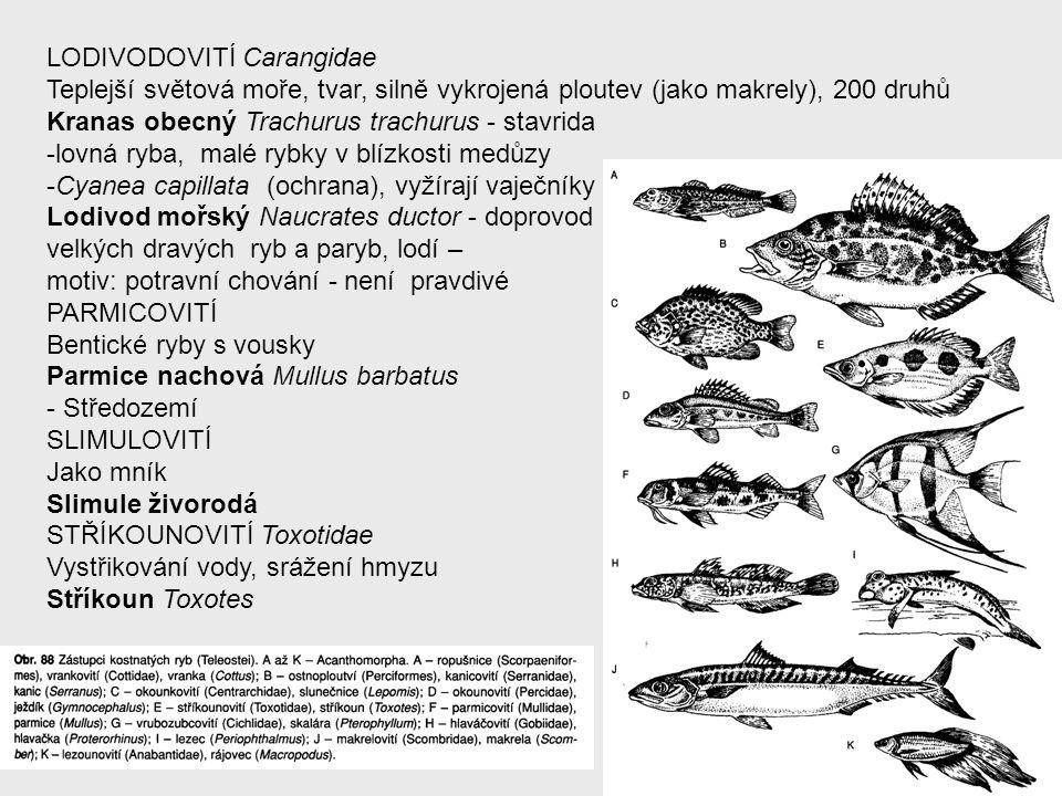 LODIVODOVITÍ Carangidae Teplejší světová moře, tvar, silně vykrojená ploutev (jako makrely), 200 druhů Kranas obecný Trachurus trachurus - stavrida -l