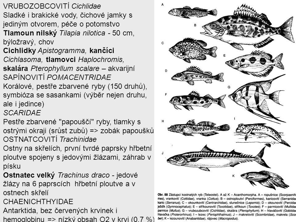 VRUBOZOBCOVITÍ Cichlidae Sladké i brakické vody, čichové jamky s jediným otvorem, péče o potomstvo Tlamoun nilský Tilapia nilotica - 50 cm, býložravý,