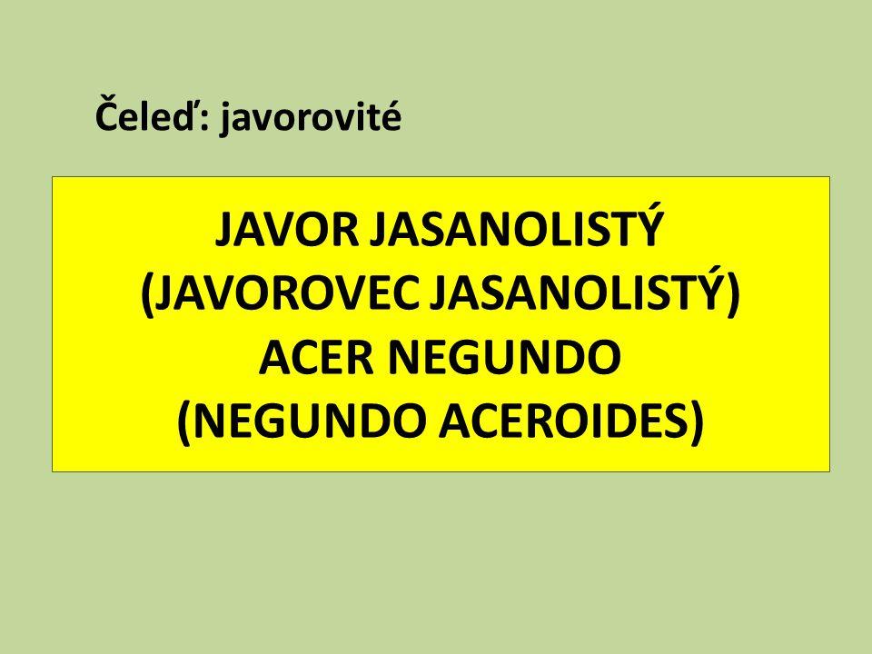 JAVOR JASANOLISTÝ (JAVOROVEC JASANOLISTÝ) ACER NEGUNDO (NEGUNDO ACEROIDES) Čeleď: javorovité