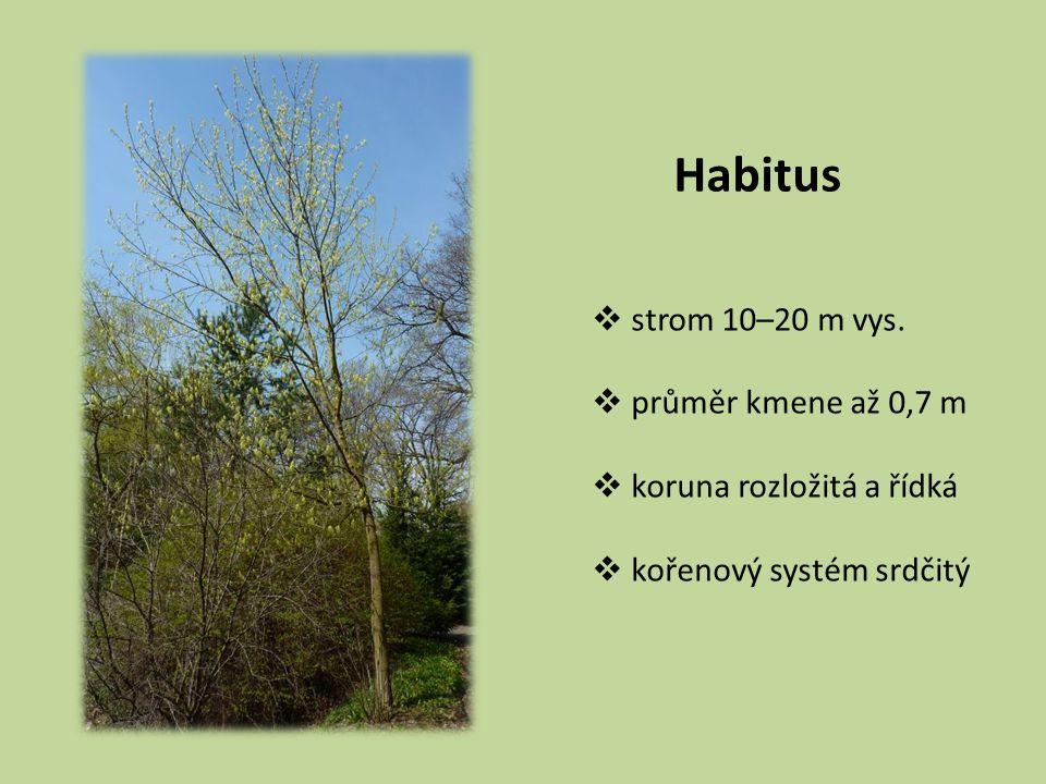 Habitus  strom 10–20 m vys.  průměr kmene až 0,7 m  koruna rozložitá a řídká  kořenový systém srdčitý