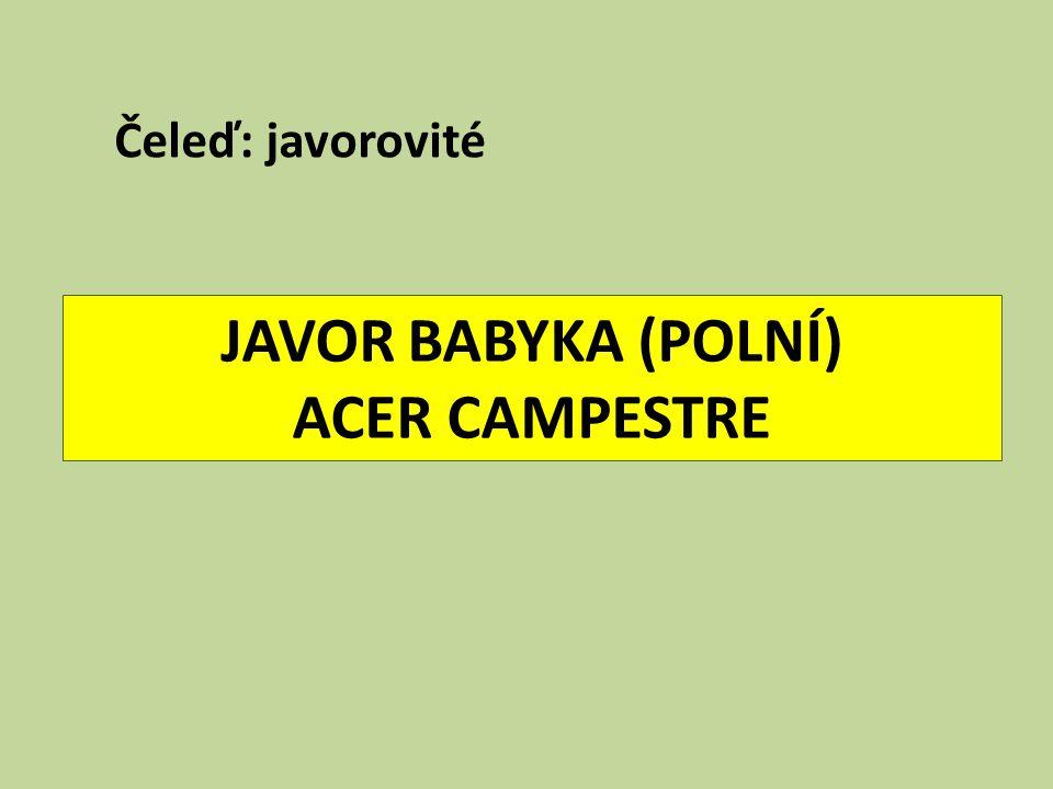 JAVOR BABYKA (POLNÍ) ACER CAMPESTRE Čeleď: javorovité