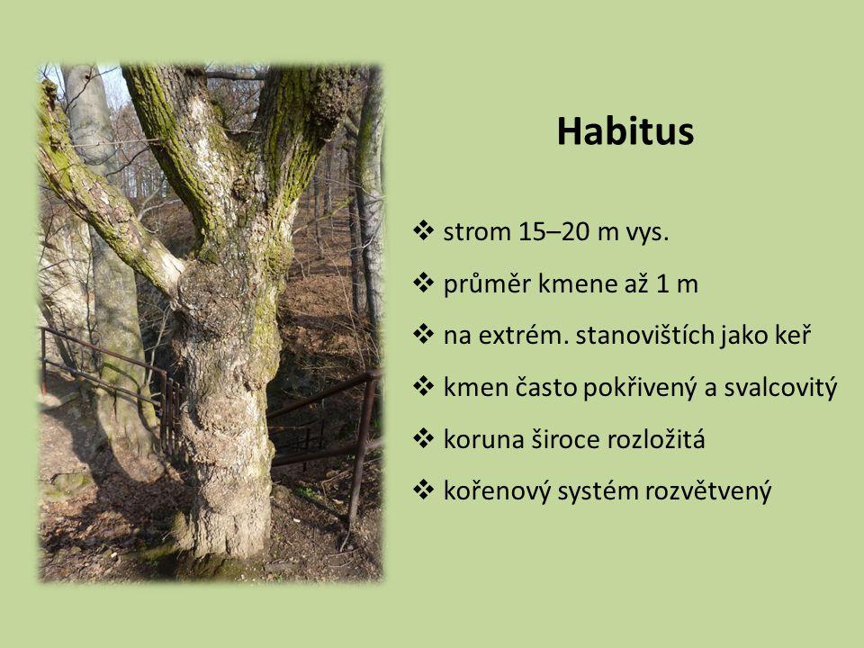 Habitus  strom 15–20 m vys.  průměr kmene až 1 m  na extrém. stanovištích jako keř  kmen často pokřivený a svalcovitý  koruna široce rozložitá 