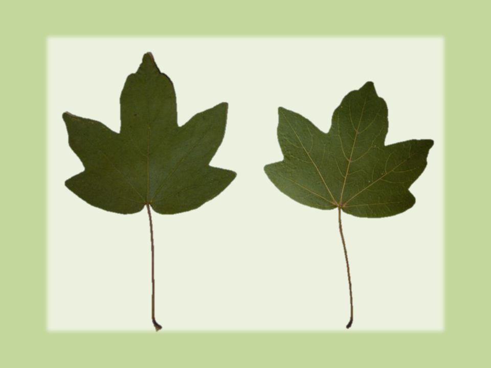 Květy  jednodomé, mnohomanželné  kvete v V  současně nebo po vyrašení listů  zelenožluté  ve vzpřímených chocholících