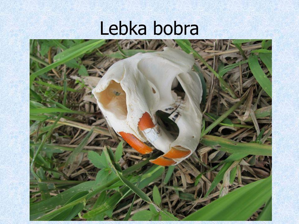 Lebka bobra