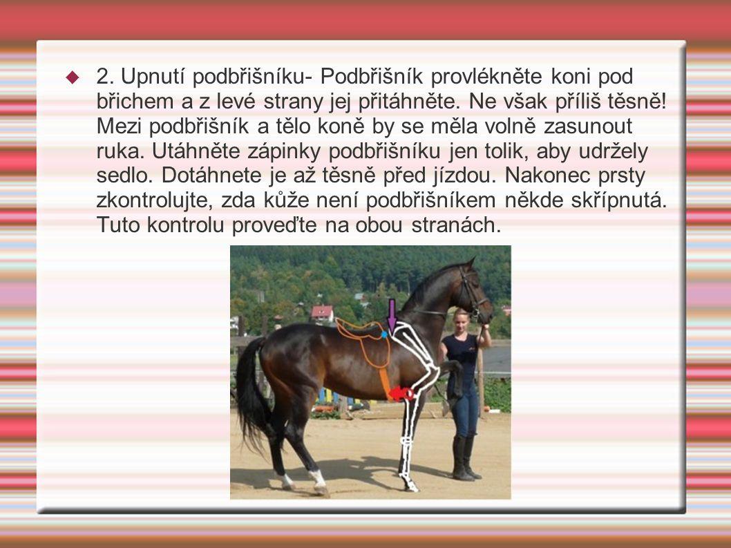  2. Upnutí podbřišníku- Podbřišník provlékněte koni pod břichem a z levé strany jej přitáhněte. Ne však příliš těsně! Mezi podbřišník a tělo koně by