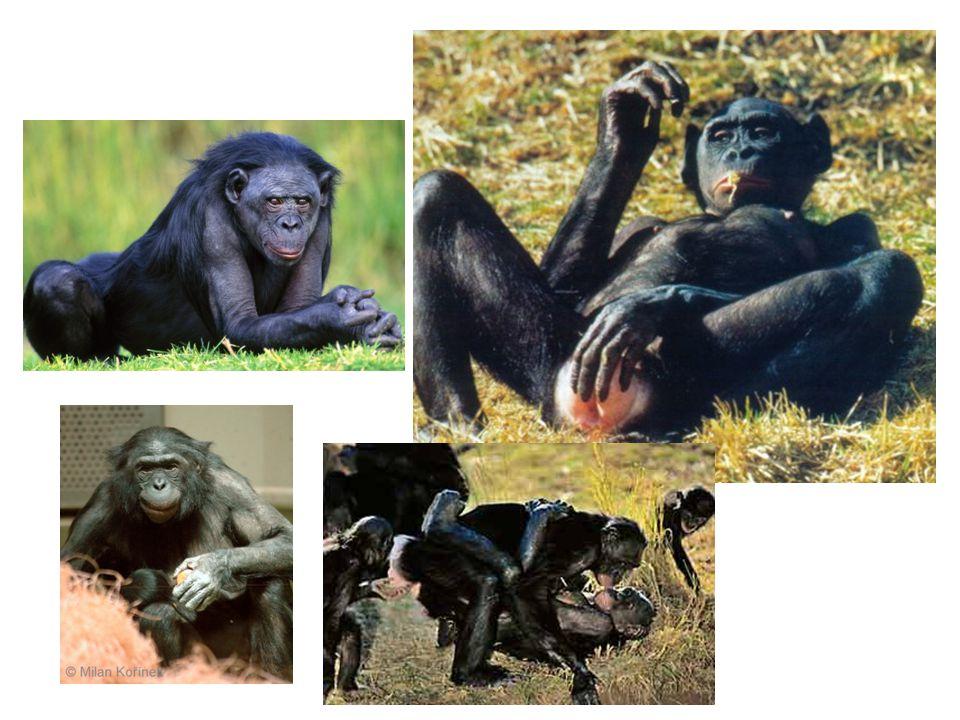 Homo ergaster( člověk dělný) Starší forma Homo erectus Nejspíš přímý před- ci Homo sapiens