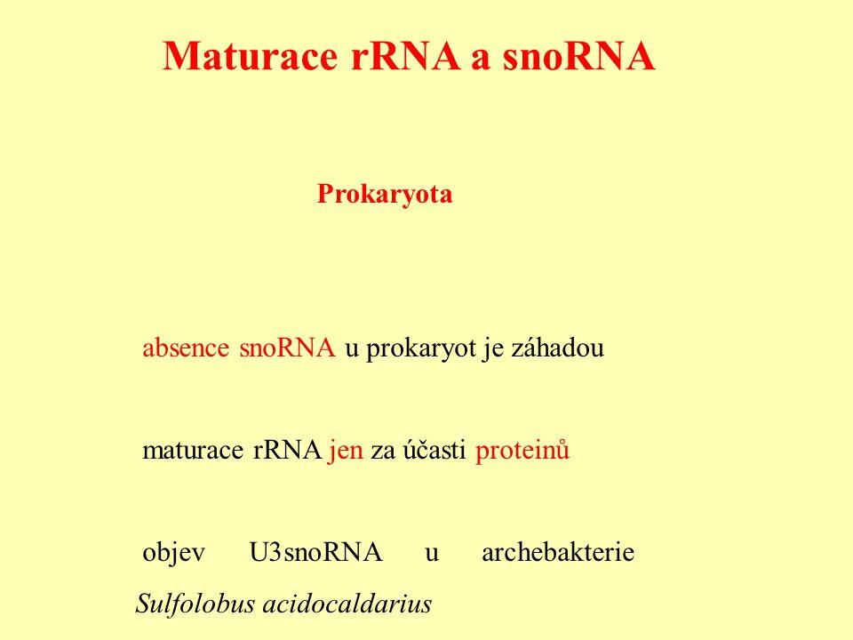 Maturace rRNA a snoRNA Prokaryota absence snoRNA u prokaryot je záhadou maturace rRNA jen za účasti proteinů objev U3snoRNA u archebakterie Sulfolobus acidocaldarius