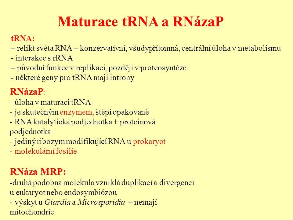Maturace tRNA a RNázaP RNázaP : - úloha v maturaci tRNA - je skutečným enzymem, štěpí opakovaně - RNA katalytická podjednotka + proteinová podjednotka - jediný ribozym modifikující RNA u prokaryot - molekulární fosílie RNáza MRP: -druhá podobná molekula vzniklá duplikací a divergencí u eukaryot nebo endosymbiózou - výskyt u Giardia a Microsporidia – nemají mitochondrie tRNA: – relikt světa RNA – konzervativní, všudypřítomná, centrální úloha v metabolismu - interakce s rRNA – původní funkce v replikaci, později v proteosyntéze - některé geny pro tRNA mají introny