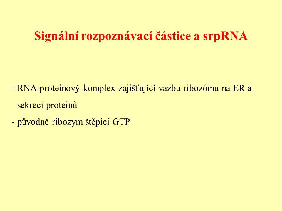 Signální rozpoznávací částice a srpRNA - RNA-proteinový komplex zajišťující vazbu ribozómu na ER a sekreci proteinů - původně ribozym štěpící GTP