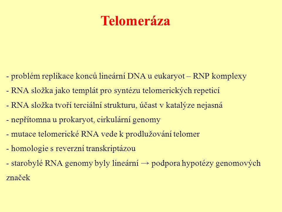 Telomeráza - problém replikace konců lineární DNA u eukaryot – RNP komplexy - RNA složka jako templát pro syntézu telomerických repeticí - RNA složka tvoří terciální strukturu, účast v katalýze nejasná - nepřítomna u prokaryot, cirkulární genomy - mutace telomerické RNA vede k prodlužování telomer - homologie s reverzní transkriptázou - starobylé RNA genomy byly lineární → podpora hypotézy genomových značek